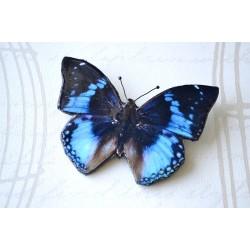 Pross sini-pruun-must liblikas